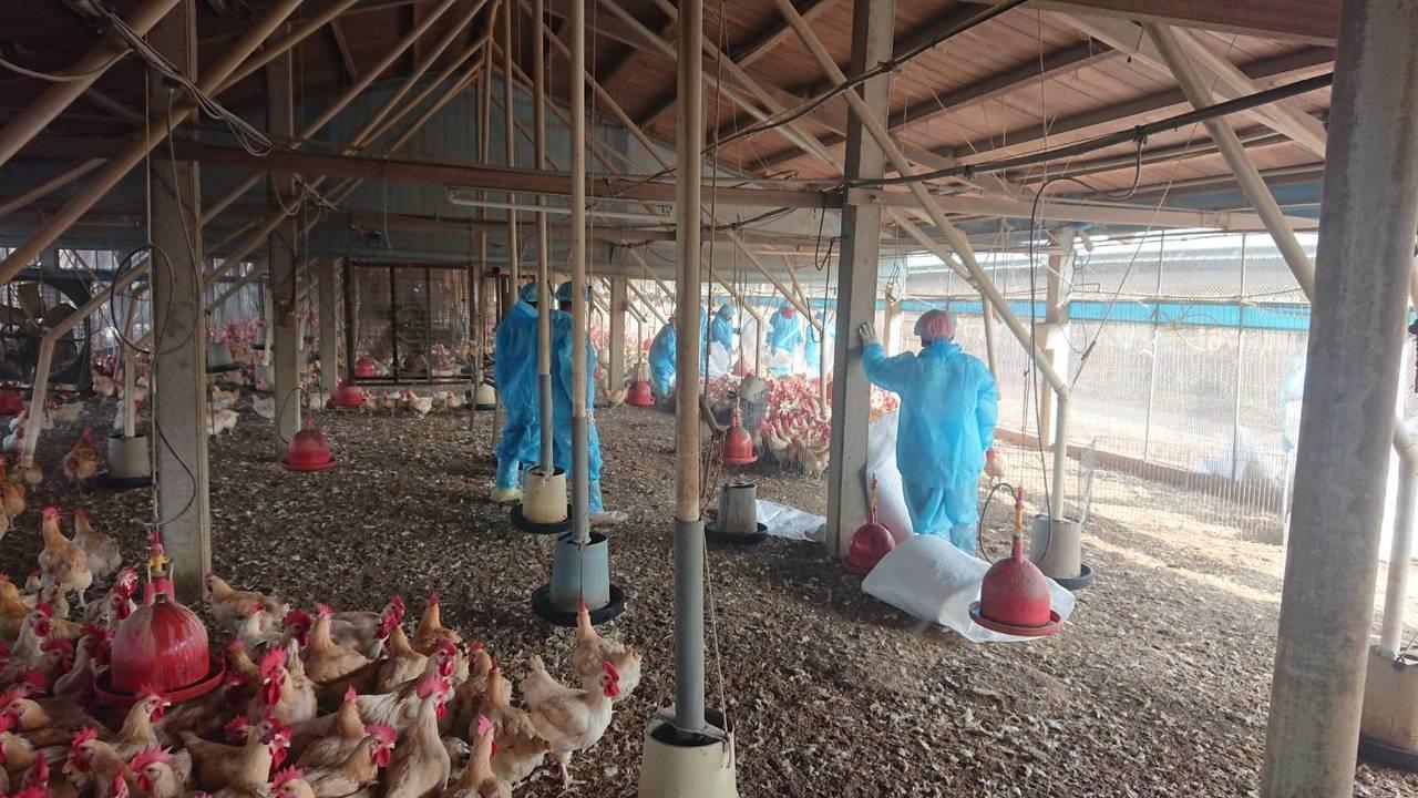 雲林縣今撲殺一處感染禽流感的紅羽土雞場。圖/記者陳雅玲翻攝