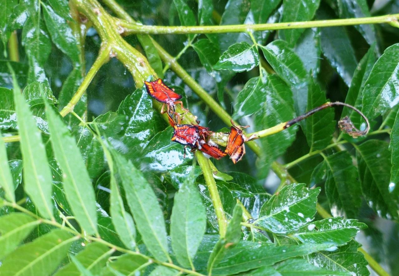 荔枝椿象的若蟲身體為長方形,呈現橙紅色或淡橙色與藍色邊框,受到驚擾時會用臭腺噴出分泌物,會灼傷人體皮膚。記者凌筠婷/攝影