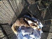 野生鼬獾現身玉山遊憩區 咬人遭逮驗出狂犬病