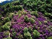 南部陽明山!台南梅嶺逾3萬株紫牡丹花海盛開 美到3月