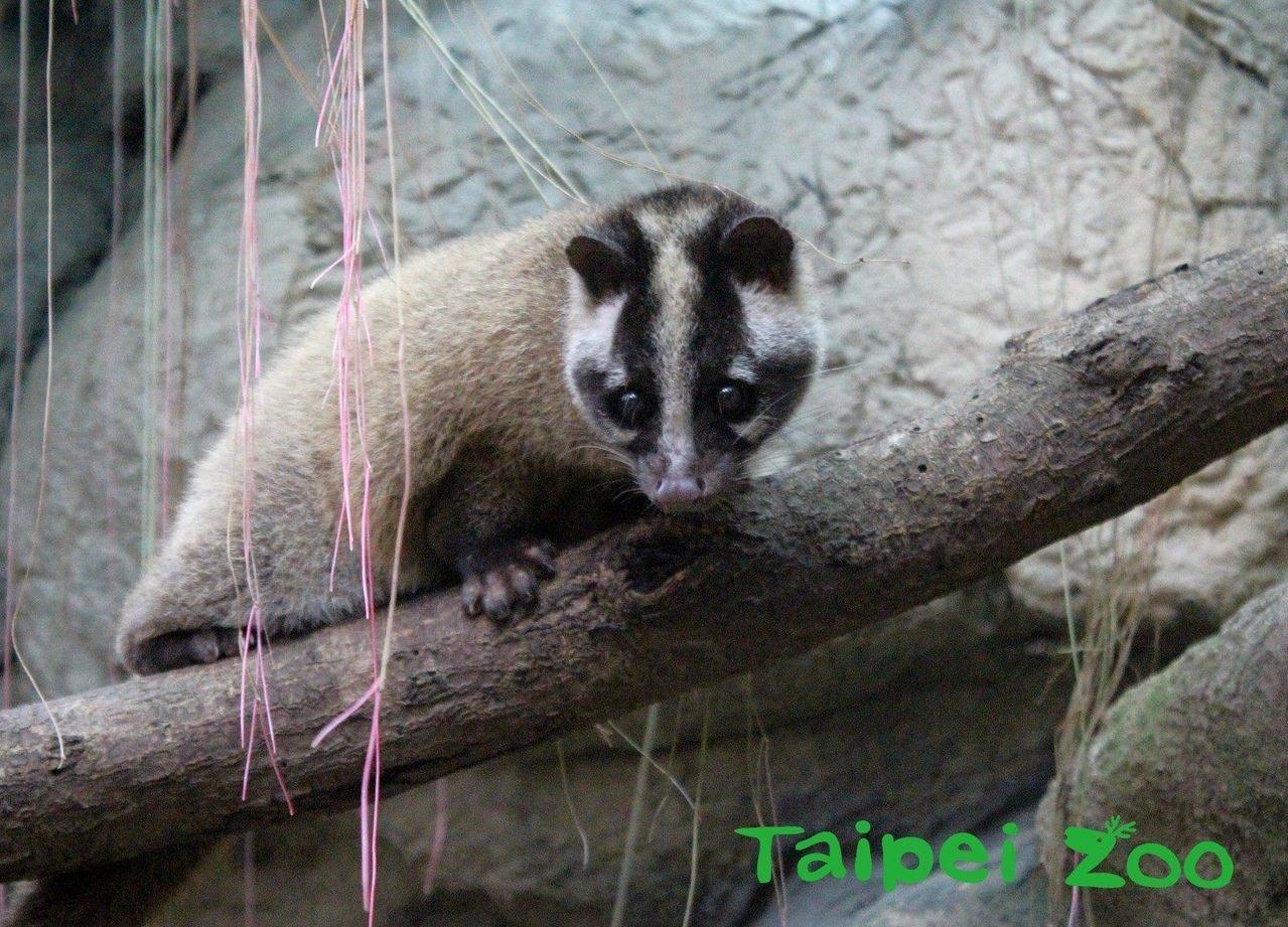 白鼻心。圖/台北市立動物園提供
