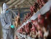 湖南爆禽流感 急撲殺1.7萬家禽