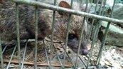 宜蘭抓偷蛋賊 意外捕到珍稀麝香貓