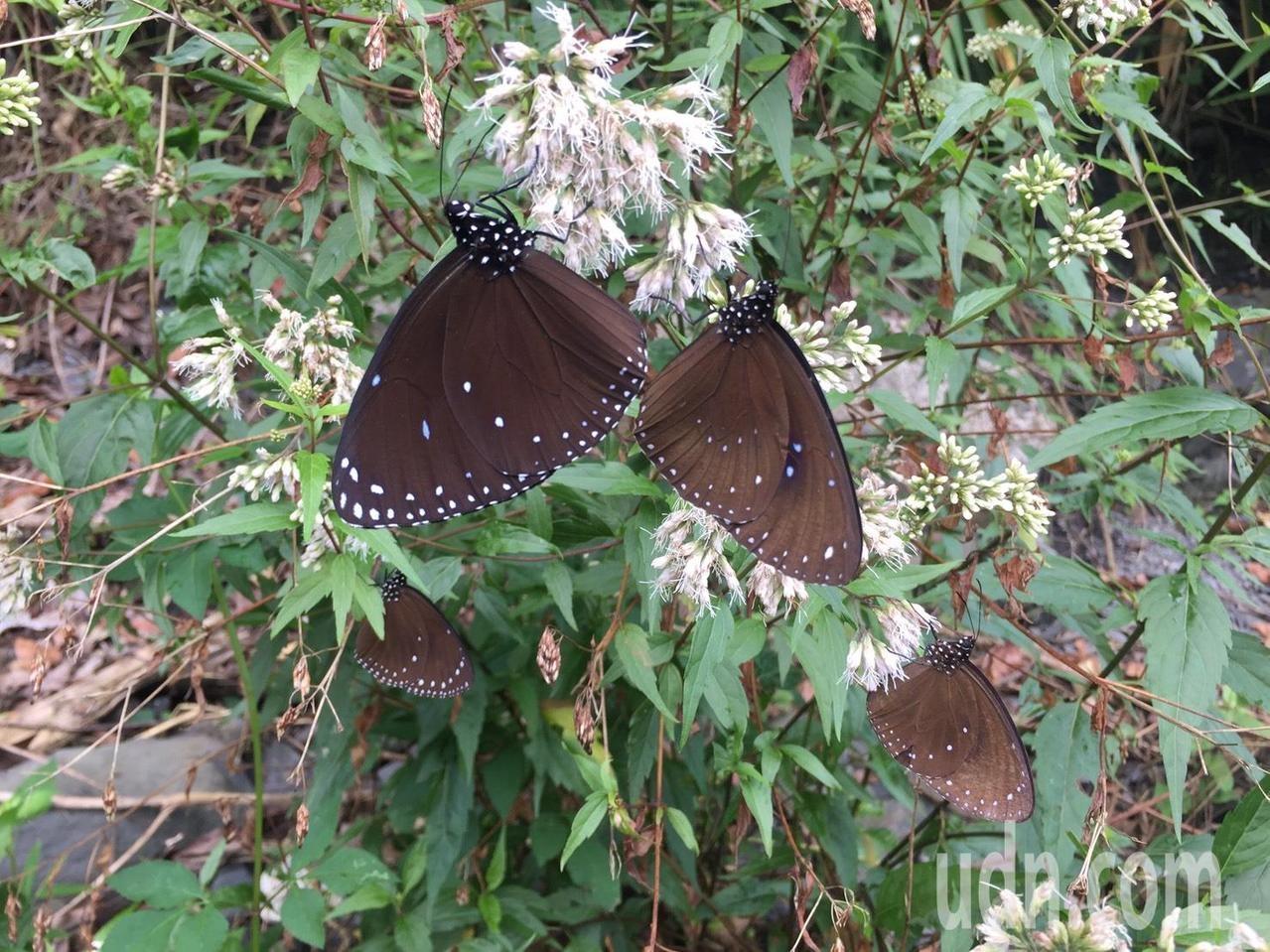 時序進入冬天,數以萬計的紫斑蝶今年準時南下越冬,茂林紫蝶幽谷蝶影紛飛。記者王昭月/攝影