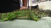 嘉縣外來種綠鬣蜥出沒頻繁 學者警告:吃下肚恐感染
