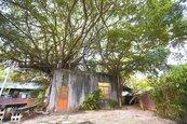 竹市老樹普查列管91棵 最老逾300年