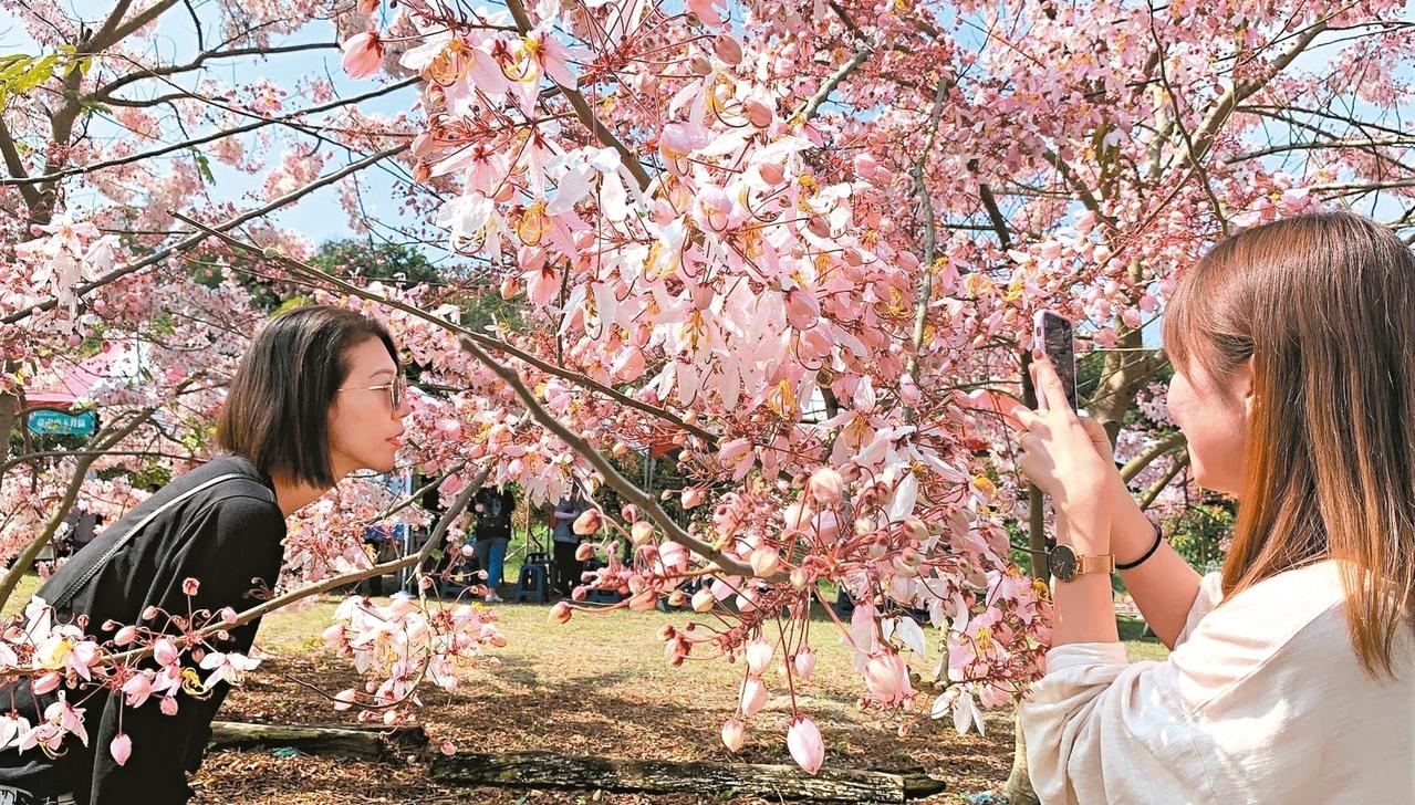 台南楠西區龜丹溫泉區花旗木盛開,粉紅花海媲美日本櫻花,吸引遊客拍照。 記者吳淑玲/攝影