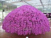 觀光蘭園歡慶母親節 展出巨型蝴蝶蘭繡球