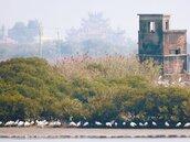 黑面琵鷺換新羽 準備北返