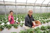 北市內湖草莓季 今起有免費接駁車
