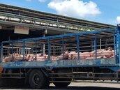 豬肉外銷 「清除豬瘟比口蹄疫還麻煩」