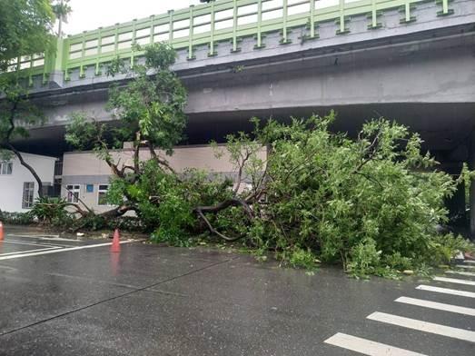 台北市辛亥路一段有樹木過度傾斜而造成撞擊事故。圖/台北市公園處提供