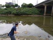 汐止基隆河段浮大批死魚 調查發現已死亡多日