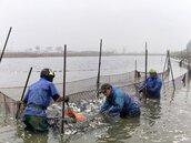 疫情衝擊養殖漁業外銷受阻價格疲軟 吃魚正是時候