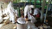 養禽戶主動通報屏東1養雞場確診禽流感 撲殺7千多隻土雞