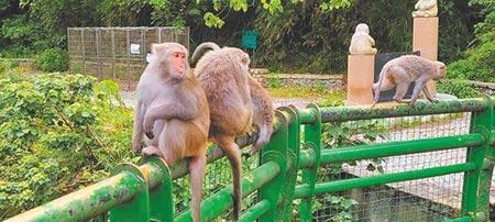 台東猴害嚴重,農作物鳳梨,水蜜桃、釋迦等無一倖免,延平鄉公所開出職缺急徵驅猴人。(楊漢聲攝)