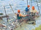 虱目魚盛產 漁民每斤26元賤售