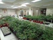 家中栽種大麻5百餘株 卻因味道太濃栽在鄰居檢舉