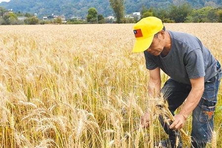 田守喜除了是兩屆全國名米產地的冠軍得主,也致力推廣種植小麥,今年收割前一個月遇停灌,又沒雨,稻作損失慘重,他也考慮是否要種小麥。(莊旻靜攝)