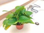 火鶴、黃金葛… 盆栽可淨化空氣