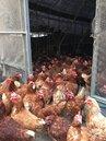 好冷!雞蛋產量下降 蛋價將持續回升