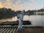 中正大學人工湖黑天鵝消失 染禽流感共41隻鴨鵝全撲殺