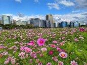 台北市最大花海在美堤河濱公園盛開啦!