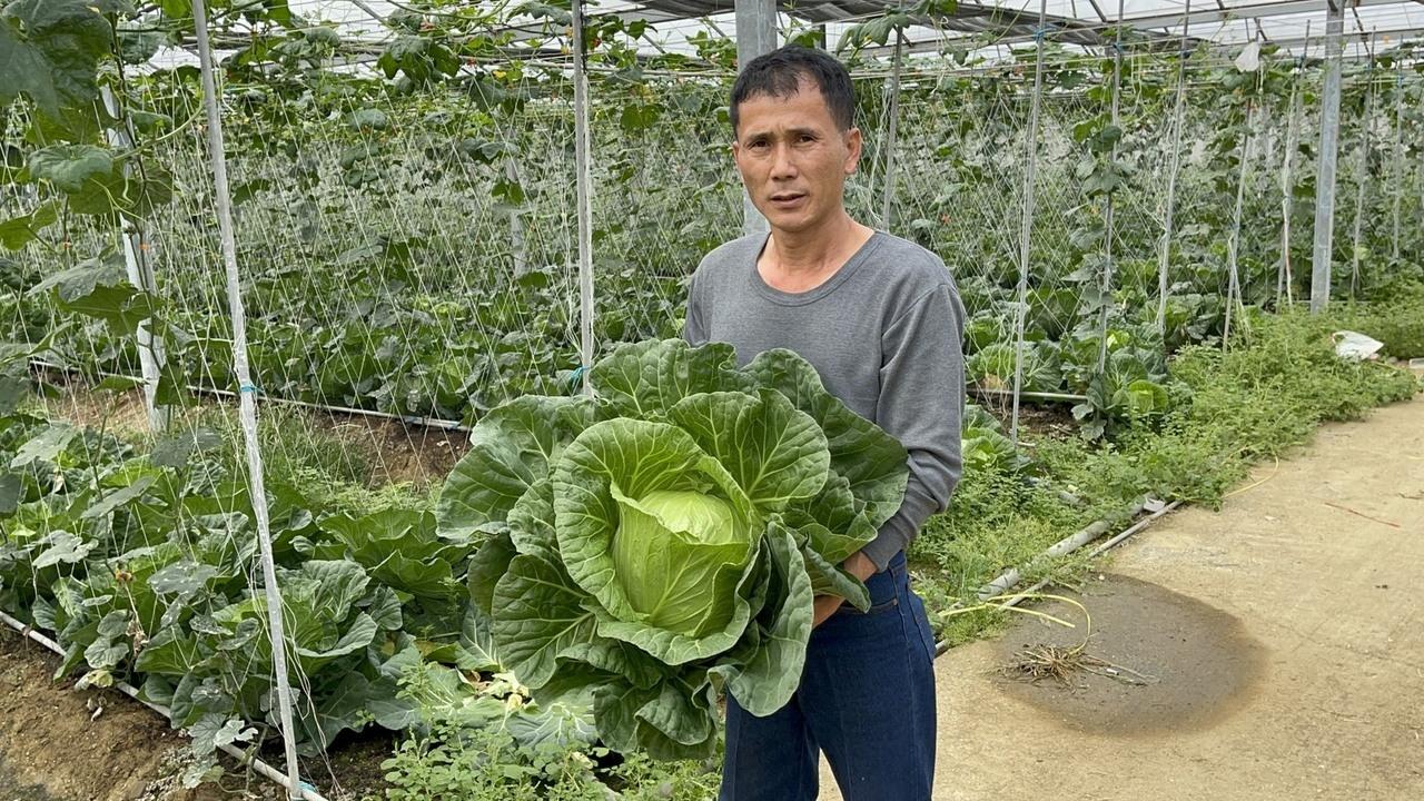 高麗菜過年前產地價由每斤10元跌破5元,櫻田牛埔農場主人李永德評估成本後,決定開放民眾以一顆20元採收。記者莊祖銘/攝影