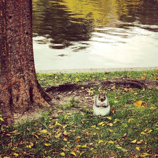 波士頓公園 (Boston Common) 的松鼠。圖/YVONNE攝影