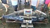 黑鮪魚身價暴跌 每公斤2000元跌到149