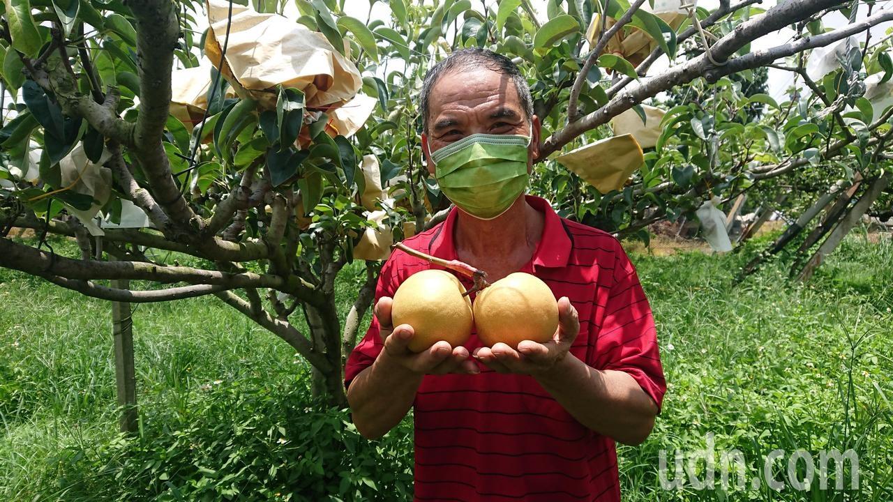 北斗鎮農民謝鴻林獨力經營梨園,今年水梨的水分多,又大又甜。記者簡慧珍/攝影