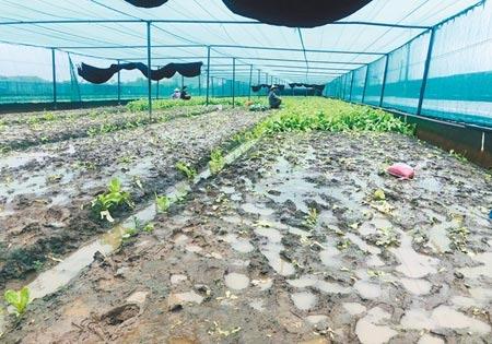 疫情衝擊下,三級警戒延長,雲林菜農減種蔬菜,加上連日豪雨、雨後豔陽曬傷,最近蔬菜量大減,價格仍持平。(周麗蘭攝)