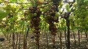 梅雨重傷二林釀酒葡萄 產量減半