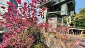 貓空纜車旁櫻花