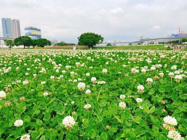 白花三葉草如小精靈般現身於大草地。圖/新北市政府提供
