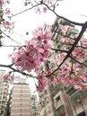 美麗宏國社區櫻花