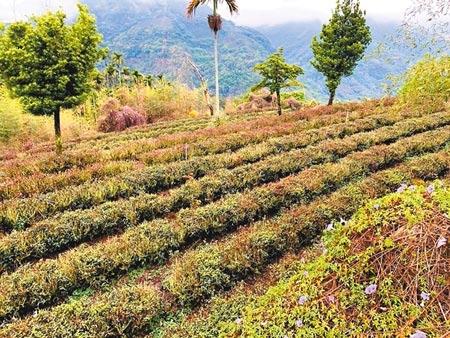 雲林縣多達300公頃茶園,受旱災衝擊,茶樹枯乾,占全縣茶園總面積7成5。(周麗蘭攝)