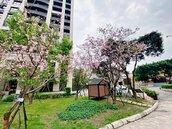 粉嫩櫻花朵朵開!新莊雙鳳公園春天氣息濃厚