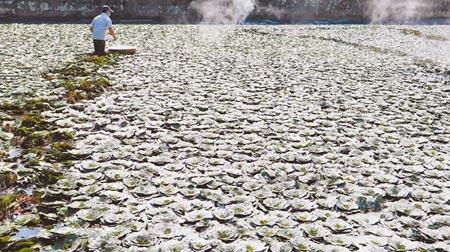 台南官田今年菱角產季延後1個月,約10月中旬才會有大量菱角上市,只見農民在田間忙著撒石灰改善水質,避免水太髒,影響菱角生長。(張毓翎攝)
