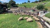 羊咩咩奔跑青青草原上 清境綿羊秀首日吸引700人