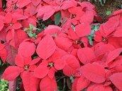 卓蘭紅色季節開跑 創意水果造型聖誕樹大賽登場