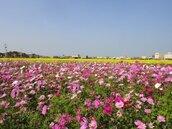春節迎賓 苗縣府規劃25公頃春節賞花專區