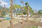 富里火車站前美化工程 植樹過密 民諷:像跳樁