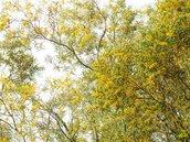 黃色花海遍佈 台中相思樹花季登場
