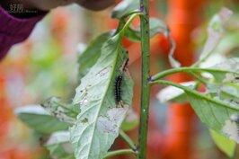 保證無毒,毛毛蟲正開心的啃食葉子,等待來年春年成為艷麗的蝴蝶。