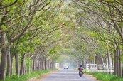 苦楝樹綠色隧道 清新之美