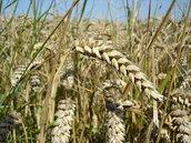 公糧收購減四分之一 3萬公頃農地轉作